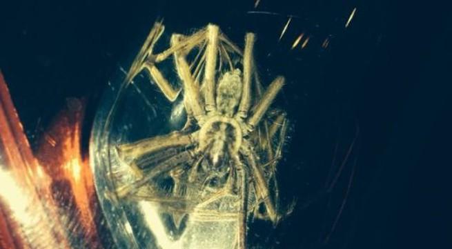 Sốc với nhện khổng lồ to bằng đầu người