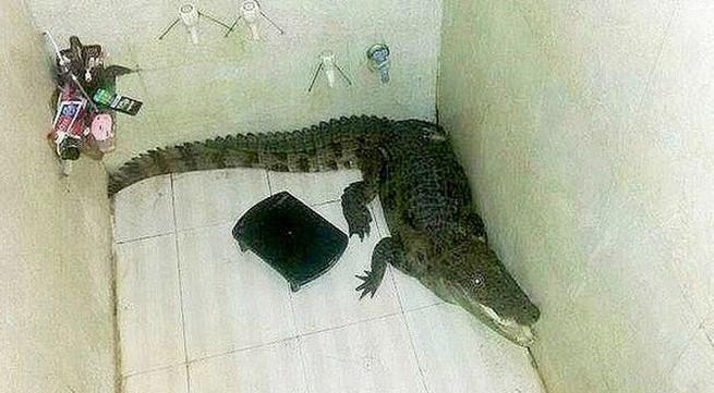 Kinh hãi phát hiện cá sấu đột nhập phòng tắm