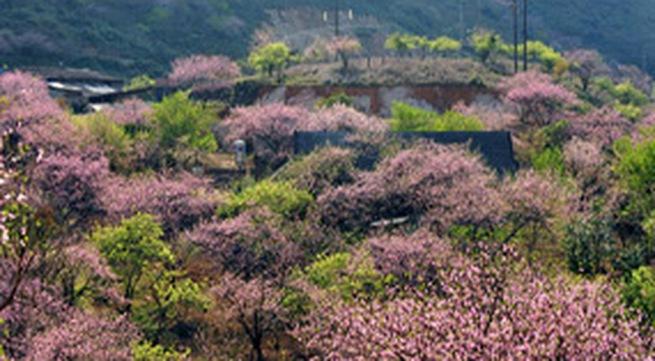 Đào rừng nở muộn nhuộm hồng đường lên Tây Bắc
