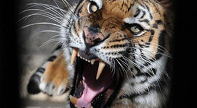 Bị hổ tấn công 27 du khách may mắn thoát chết
