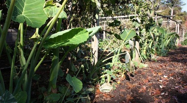 Vườn rau muống, dọc mùng của ông chủ Tây ngay giữa thủ đô nước Mỹ
