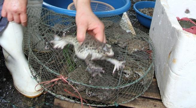 Cá tầm, ếch Trung Quốc: Rước bệnh vì tham rẻ