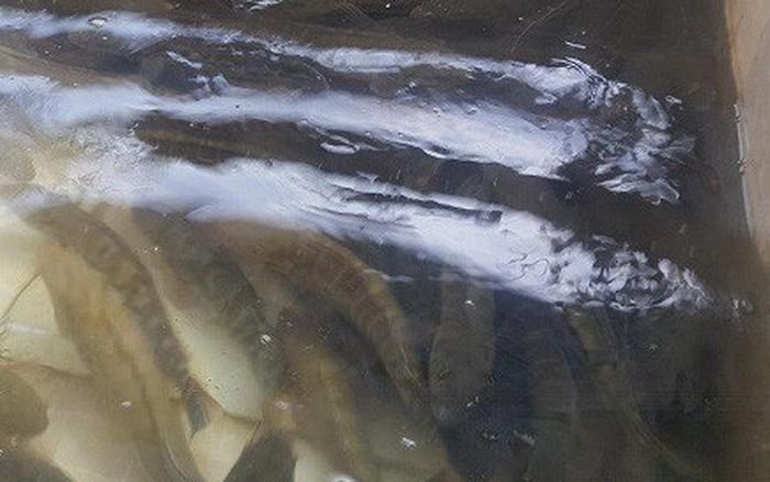 Đếm tiền mỏi tay nhờ nuôi cá lóc bán Tết