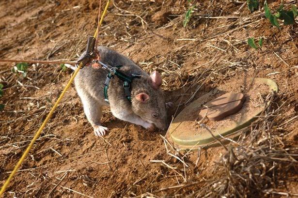 Huấn luyện một con chuột rà phá bom mìn. Nguồn: Sylvain Pirau
