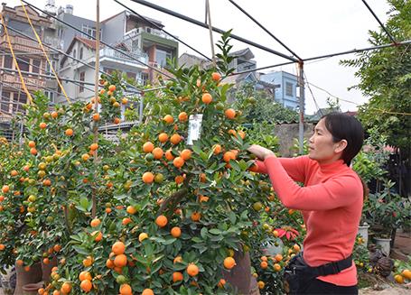 Bà Thư đang chăm sóc cho chum quất đắt nhất vườn