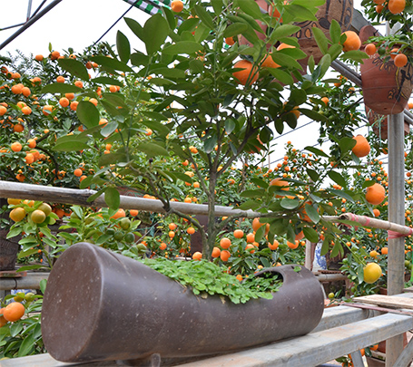 Quất được trồng trong nhiều chậu, chum có kích thước và hình dáng khác nhau