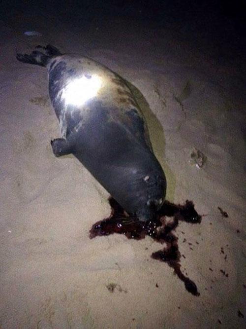 Con hải cẩu bị giết hại ở bãi Dương, Bình Thuận