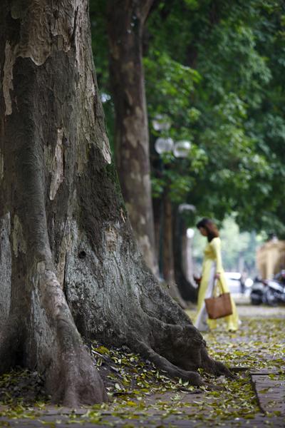Cây sấu thay lá khá nhanh, vì thế lá vàng rụng phủ kín phía dưới thì trên cây đã xanh mướt lá non.