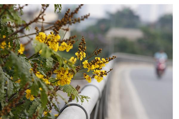 Rất nhiều bạn trẻ thích chụp ảnh với hoa điệp vàng để ghi lại dấu ấn tuổi học trò.