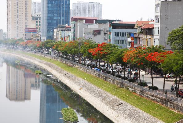 Hàng cây phượng đỏ rực bên sông Tô Lịch.