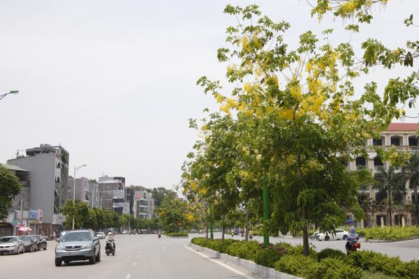 Hàng muỗng hoàng yến được trồng trên dải phân cách đường Nguyễn Văn Huyên.