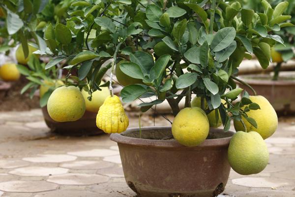 Nhiều cây được ghép thêm quả phật thủ nhìn khá lạ mắt.
