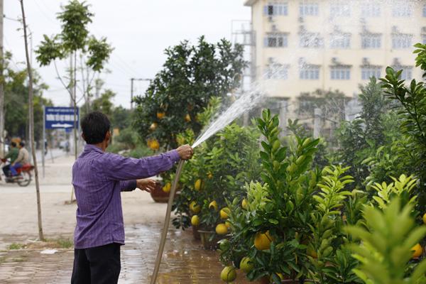 Theo người trồng cho biết, việc triết cành và quả phải được tính toán kỹ lưỡng và phụ thuộc khá nhiều vào thời tiết.
