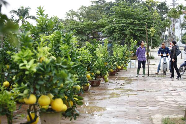 Vườn bưởi cảnh này mới mở được vài ngày nhưng cũng đã có nhiều khách tới hỏi mua.