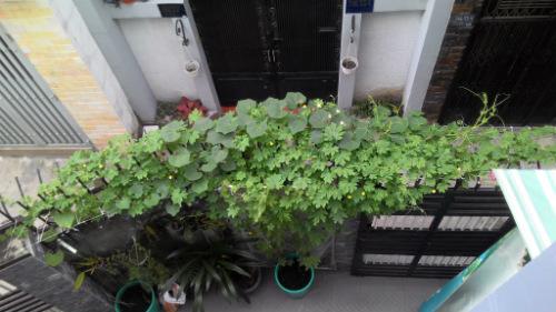 Anh Thành tận dụng sân vườn làm chỗ trồng rau và tường gạch để khổ qua, mướp leo giàn