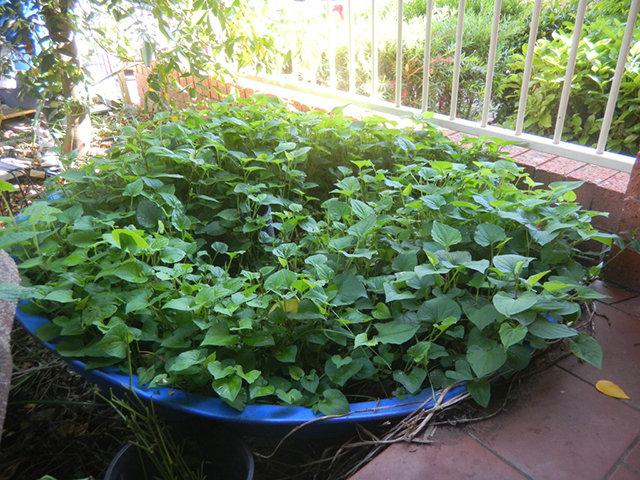Sau 7-10 ngày cây sẽ ra rễ, nảy chồi và bắt đầu phát triển bình thường.