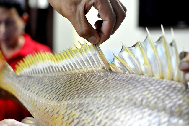 Con cá nặng gần 4kg, có màu vàng óng, vây dựng đứng được cho là cá sủ vàng quý hiếm.