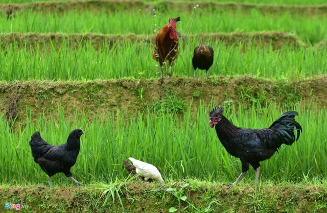 Huyện vùng cao Mù Cang Chải (Yên Bái) rất nổi tiếng với đặc sản quý hiếm là giống gà xương đen của dân tộc Mông.