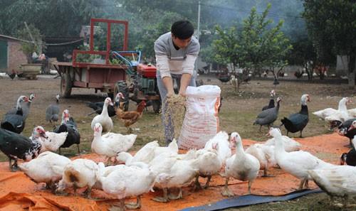 Anh Nguyễn Mạnh Hà làm giàu từ mô hình chăn nuôi gà thả vườn và các loại gia cầm.