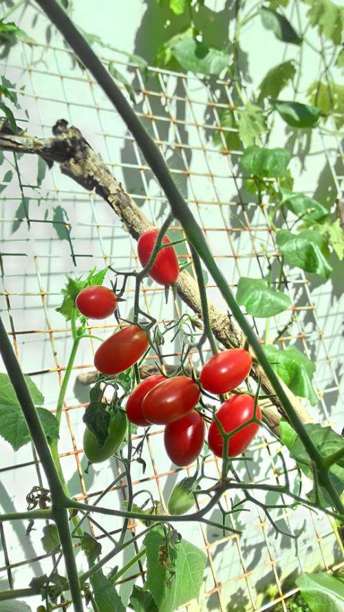 Cà chua bi chín mọng, sắp đến ngày thu hoạch