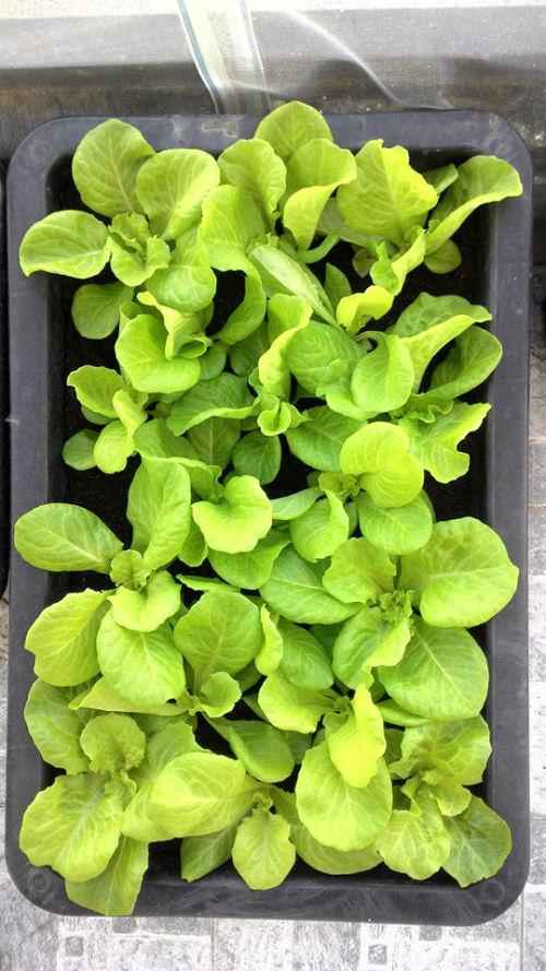 Rau cải được trồng trong khay nhỏ, lá xanh mơn mởn