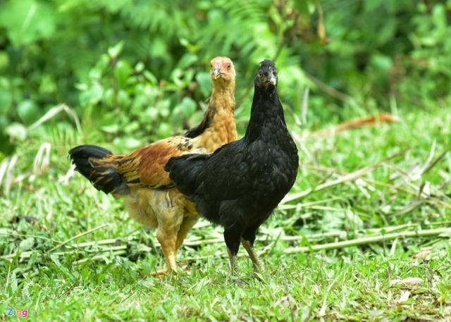 Do việc nuôi lẫn gà đen với gà ri nên giống dễ bị lai tạp. Nhiều khi một ổ trứng do gà mái đen đẻ ra chỉ có 3-4 con gà đen.