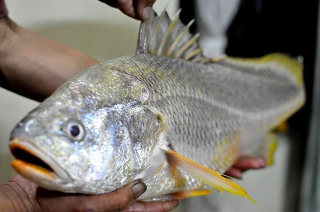 Nhiều người nghe tin đã đến nhà anh Quân để chiêm ngưỡng con cá quý.