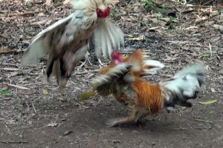 Ngoài việc có 4 cái chân, con gày này còn gây chú ý ở chỗ hung hãng và đá thắng nhiều con gà khác. Ảnh: Hồng Thắm