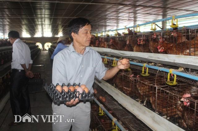 Từ nuôi gà đẻ trứng thương phẩm, gia đình ông Phạm Văn Tràng có doanh thu 6,5 - 7 tỷ đồng/năm, trừ chi phí lãi 600-650 triệu đồng/năm.