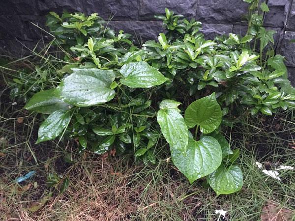 Theo Thủy Tiên, vườn rau xanh tốt nhờ phần lớn công sức của bà ngoại. Ở quê, nhà cô có nghề chính là trồng trọt. Mẹ cô có số canh điền lại mát tay nên trồng gì được nấy. Mỗi lần lên thăm vợ chồng con gái, bà lại tranh thủ bổ sung vào vườn nhà các loại rau.