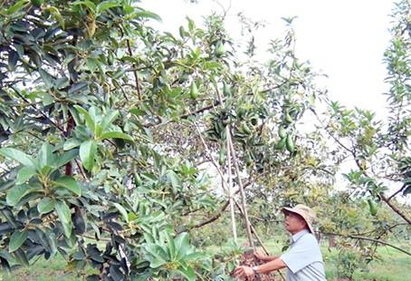 Bơ trái vụ trong vườn nhà ông Ngô Văn Quy (xã Bình Lộc, TX.Long Khánh).