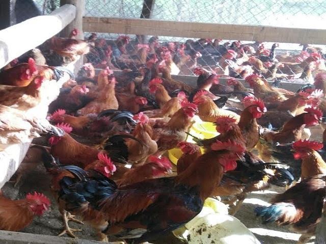 Hàng nghìn con gà tại trang trại của anh Vũ bá Quý được đeo kính 100% rất lạ mắt. Ảnh: Mỹ Hà