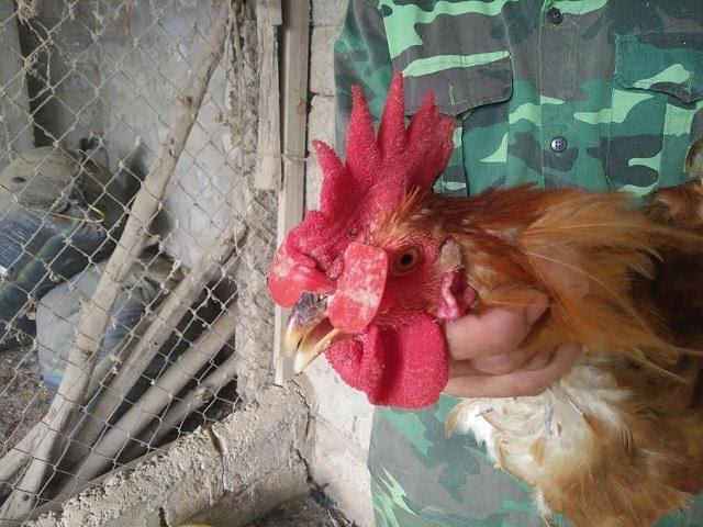 Những con gà được đeo kính phát triển khoẻ mạnh, đẹp mã nên được khách hàng ưa chuộng. Ảnh : Mỹ Hà