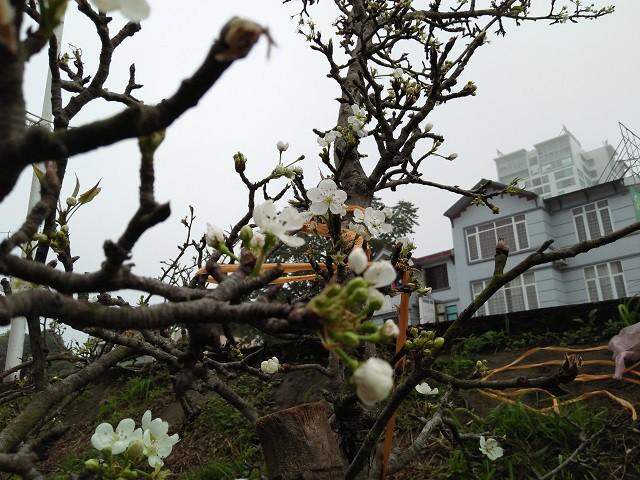 Những chùm hoa trắng muốt, đẹp dịu dàng khiến người Hà Nội phải chi tiền triệu để mua về trưng bày chơi xuân. Lê là loài hoa của vùng núi cao như Sơn La, Hà Giang, Lào Cai,… nên khi về đất thủ đô, trở nên mới lạ.