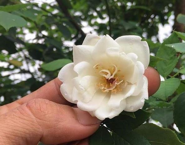 Hoa hồng cổ nếu không chăm sóc tốt sẽ không đẹp.