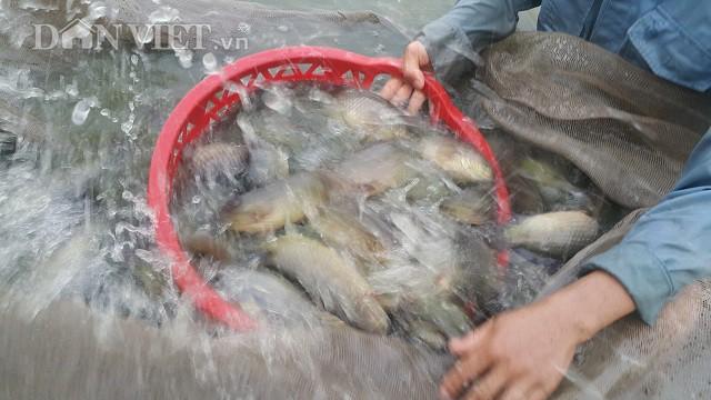 Trung bình mỗi năm, trang trại của anh Đạo xuất bán ra thị trường hơn 80 tấn cá rô.
