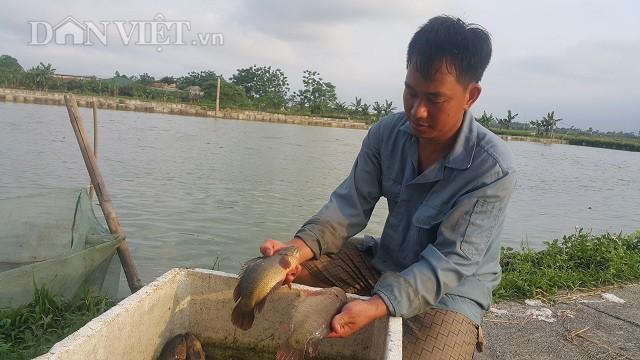 Nhờ nuôi loại cá rô khổng lồ này mà mỗi năm năm anh Đạo bỏ túi gần 400 triệu đồng.