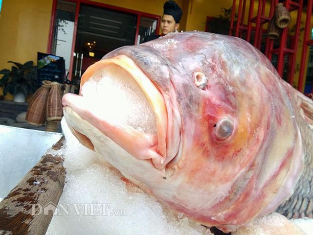 Chúng thường sinh sống tại các con sông lớn, hồ lớn. Cá hô là loài cá di cư, chúng thường di chuyển đến những nơi ưa thích để tìm thức ăn và sinh sản.