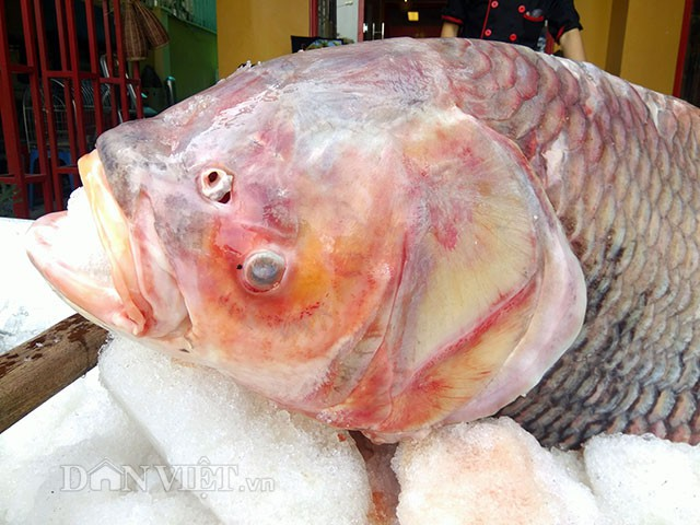 """Thời gian qua, nhiều cá hô """"khủng"""" liên tục mắc lưới ngư dân Việt Nam và Campuchia nhưng con cá hô huyết vảy rồng như hiện tại thì chưa từng xuất hiện."""