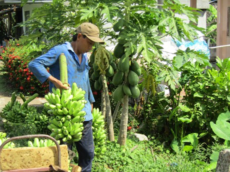 Thương lái cho người vào vườn gia đình bà Thu Hà gom chuối mang xuống ghe.
