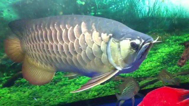 Loài kim long là một trong những cá thể cá cảnh lớn gần nhất Việt Nam với chiều dài khoảng 70cm.