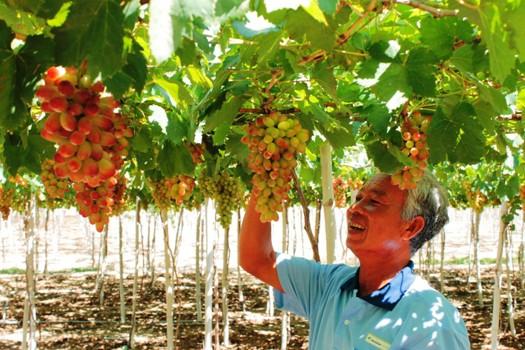 Anh Nguyễn Khắc Phòng (thôn Thái An, xã Vĩnh Hải) rất phấn khởi với giống nho NH01 - 152.