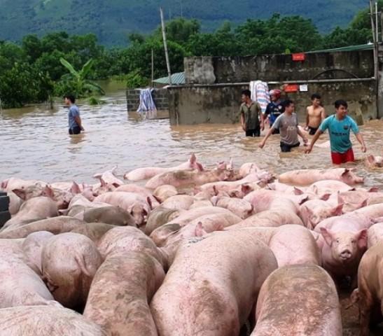 Hàng trăm người tham gia cứu đàn lợn khỏi dòng nước lũ