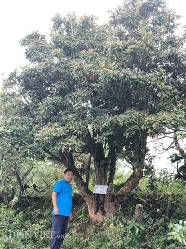 Ông Minh bên cây đỗ quyên độc đáo ở Lào Cai.