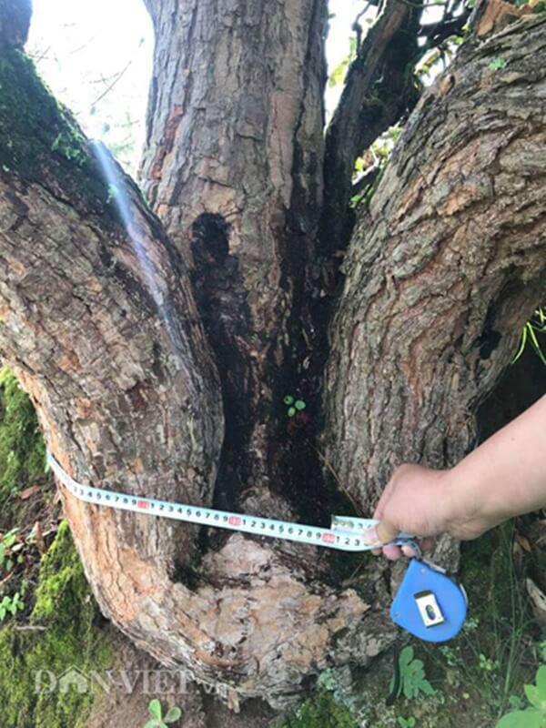 Cây kiểng này có vanh gốc 186cm, chiều cao cây khoảng 4m.