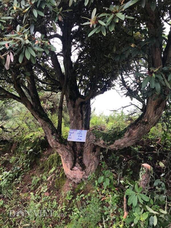 Đỗ quyên của ông Minh có 3 nhánh giống như ngai vàng rất độc đáo.