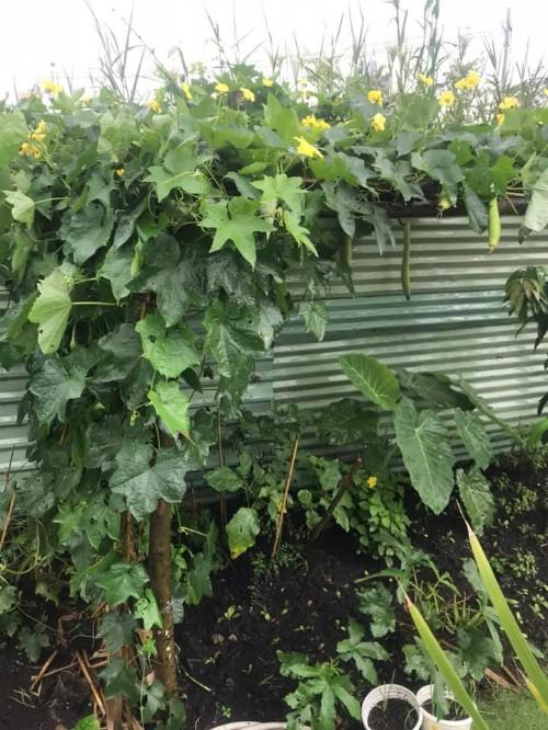 Rau trong vườn nhà Ốc có nhiều loại, từ rau ăn lá như cải bẹ xanh, cải trời, cải ngọt, mùng tơi, rau dền đến rau gia vị như rau thơm, húng quế, xá xị, xà lách... Rau ăn trái cũng phong phú với cà tím, dưa leo, mướp, khổ qua, cà chua, ớt hiểm, đậu bắp...