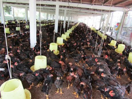 Chuồng gà 2 tầng, ở tầng trệt ông Điền thả nuôi gà trống.