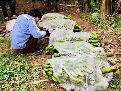 Chị Huệ (xã Liên Châu, Yên Lạc, Hưng Yên) đang thu hoạch chuối chuẩn bị mang đi tiêu thụ.