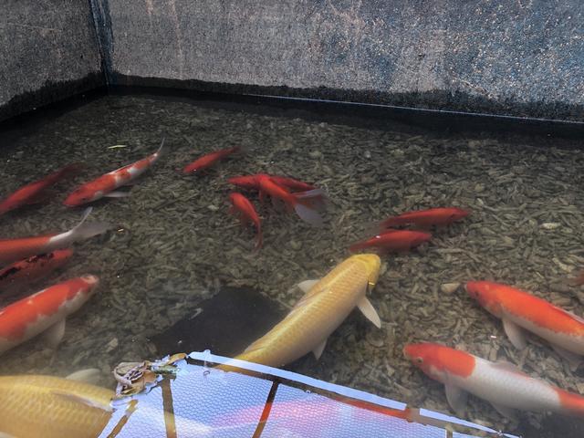 Tháo dỡ hệ thống làm sạch sông Tô Lịch, di chuyển đàn cá Koi sang Hồ Tây - Ảnh 1.